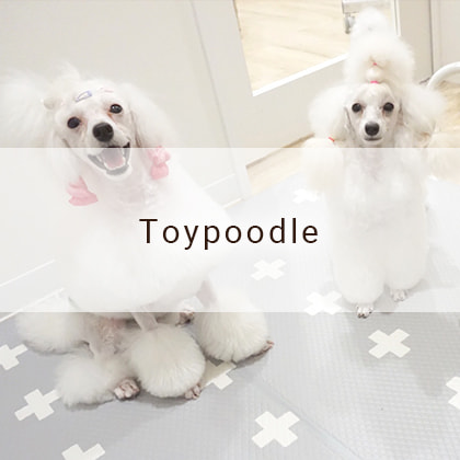 Toypoodle